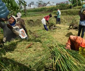 Indonesia needs more research to boost agricultural productivity